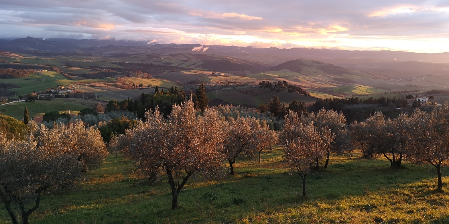 uliveto nella campagna toscana vicino a Volterra